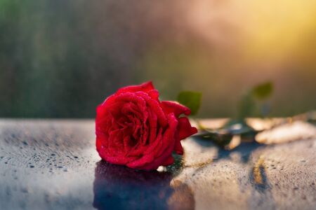 A beautiful red rose on a black reflecting surface with sprinkling rain drops on a lovely sunny day. Standard-Bild - 133704896