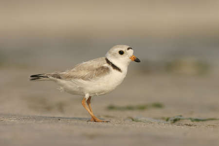 An endangered Piping Plover searching for food on the beach. Taken at Jones Beach New York.