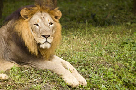 an asiatic lion sitting and looking arround. photo