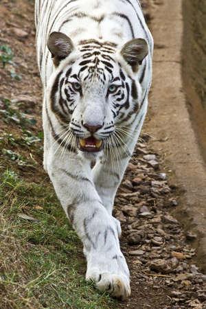 tigre blanc: Tigre blanc cherche sa proie