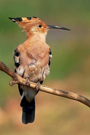 The Hoopoe  Upupa Epops  perched on a tree at Mangalajodi wetlands in Chilika lake photo