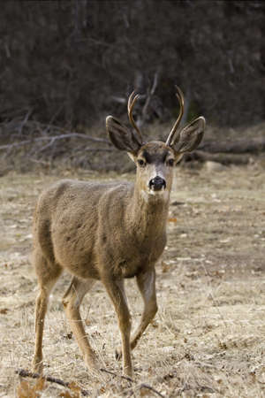 Deer in Yosetime National Park California, USA photo