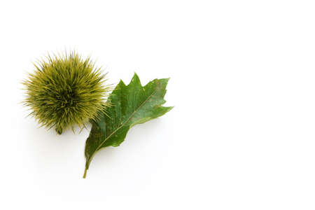 ramification: Chestnut and leave Stock Photo