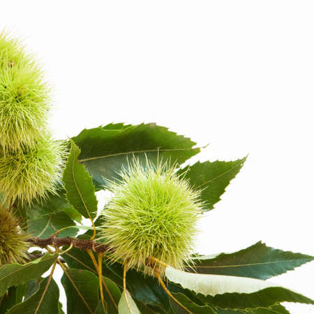 ramification: Chestnuts and leaves