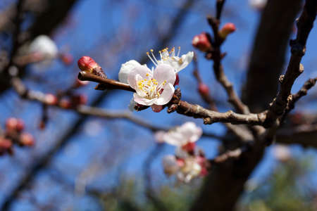 almond bud: Spring is coming Stock Photo