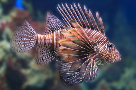 Tropical lionfish gently swimming in its coral photo