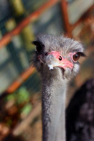 ostrich face Stock Photo - 4745270