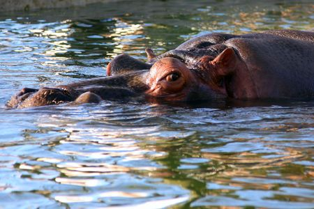 submerged: Hippopotamus (Hippopotamus amphibius) submerged in water