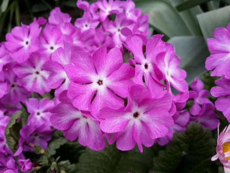 primula: Purple Primula in a garden Stock Photo