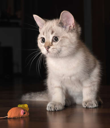 White kitten and a mouse photo