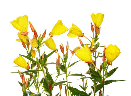 Oenothera glazioviana flower isolated on white photo