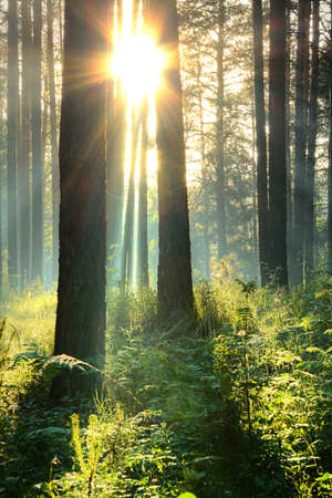 evergreen forest: sunset in the woods  Stock Photo