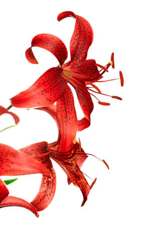 red tiger lily isolated on white background  photo