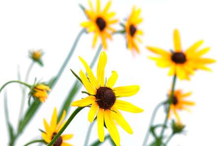 yellow rudbeckia on white background photo