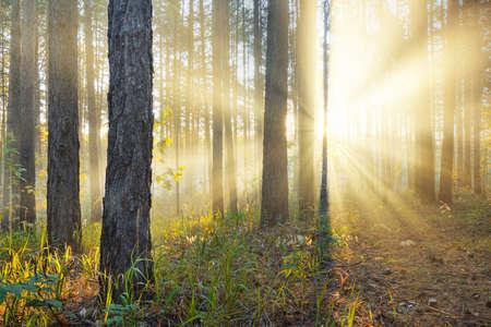arboles frondosos: Puesta de sol en el oto�o de los bosques Foto de archivo
