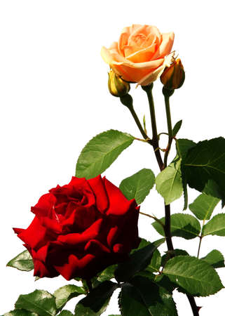 two roses isolated on white background photo