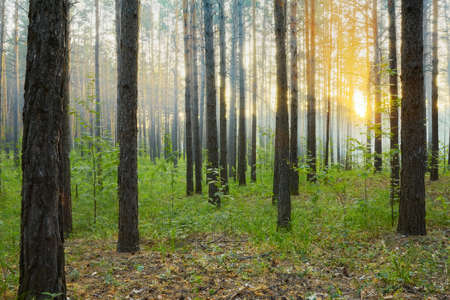 sunset in the forest Stock Photo - 15367953