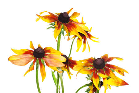 yellow rudbeckia on white background  Stock Photo - 17491652