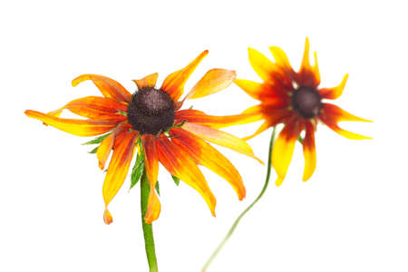 yellow rudbeckia on white background  Stock Photo - 17491620