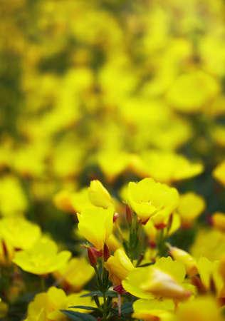 myrtales: Oenothera glazioviana  Stock Photo