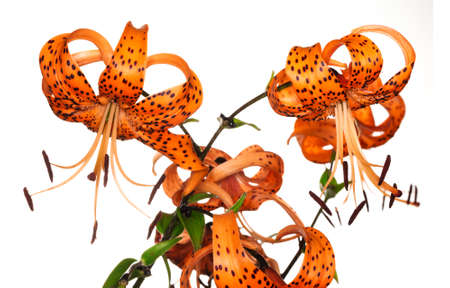 tiger lily: red tiger lily isolated on white background