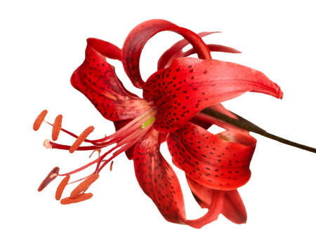 white lily: red tiger lily Illustration