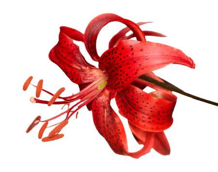 tiger lily: red tiger lily Illustration