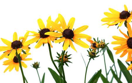 rudbeckia giallo