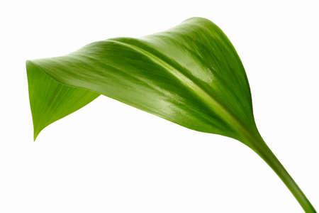 green leaf on white background Ilustração