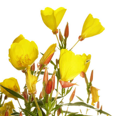 plantae: Oenothera glazioviana flower isolated on white Illustration