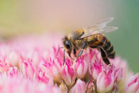 Honey bees collect pollen and nectar on Spiraea flower. Macro shot. Zdjęcie Seryjne