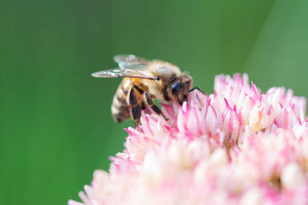 Honey bees collect pollen and nectar on Spiraea flower. Macro shot. Zdjęcie Seryjne