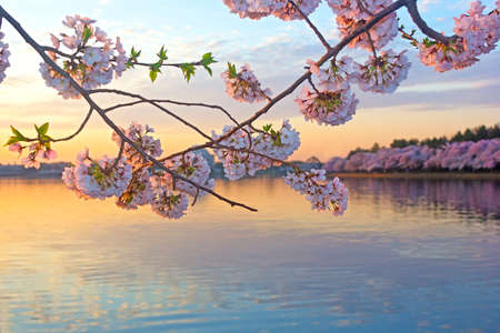 Cherry trees in blossom around Tidal Basin, Washington DC  Tidal Basin at dawn surrounded by blossoming cherry trees in Washington DC