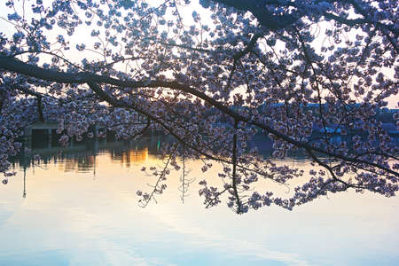 Cherry trees in blossom around Tidal Basin, Washington DC  Cherry trees in full blossom at dawn around Tidal Basin in Washington DC photo
