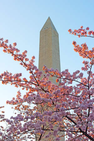 Cherry blossoms abundance near the Washington Monument  Soft sunset light touches blooming cherry branches near the Washington Monument  photo