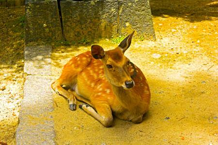 hachimangu: Sika Deer is bathing in the sun at Tamukeyama Hachimangu shrine  Deer in shrine of Nara, Japan