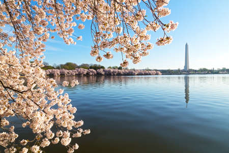 water  scenic: A peak of cherry blossom around the Tidal Basin in Washington DC, USA. National Monument and Tidal Basin waters during cherry blossom festival. Stock Photo