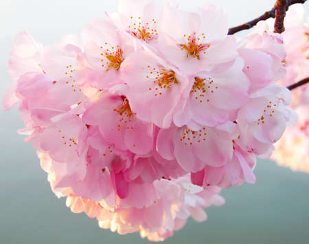 cheery: Cherry blossoms on the branch at close up. Pink cheery flowers around Tidal Basin in Washington DC.