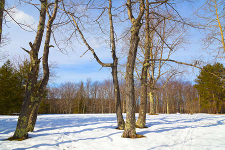 west virginia trees: Forest trees in winter with footprints on snow. Winter in West Virginia Blackwater Falls Park.