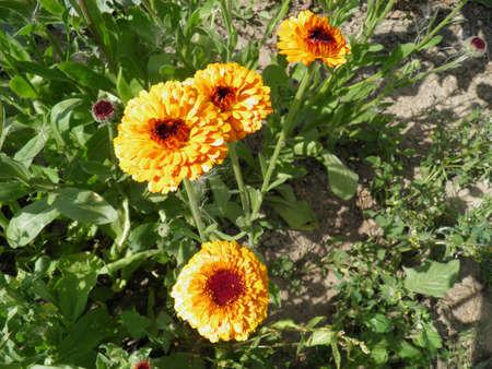 Blossoming yellow pot marigold (calendula) flowers. Beautiful flowers open towards the sun.