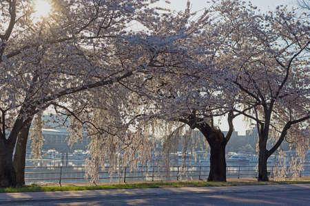 Sun and blossoming cherry trees. Cherry blossom festival in the East Potomac Park of Washington DC.