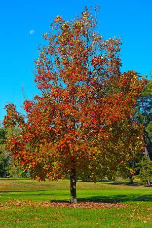 Ein Ahornbaum im Herbst in National Arboretum, Washington DC. Bunte Ahornbaum im Herbst gegen einen blauen Himmel.