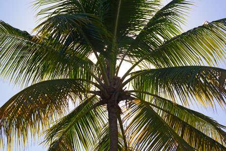 coco: Palmera del coco en primer plano contra el sol de la tarde. Los rayos del sol viajan a través de las hojas de palmera de coco. Foto de archivo