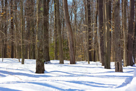 blackwater: Winter morning in the Blackwater National Park forest in West Virginia, USA. Pine forest in winter with morning shadows on the snow.