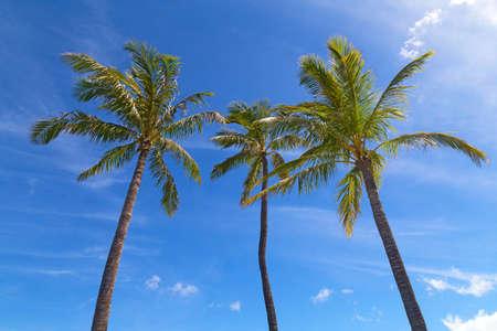 voyage: Trois grands palmiers sont au-dessus des nuages ??après la pluie d'été. Palms sous le soleil hawaïen et nuages ??dans le ciel.