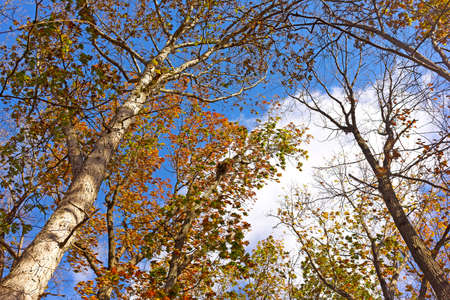 late fall: Windy morning among tall deciduous trees in late fall. Autumn with tall deciduous trees and blue cloudy sky.