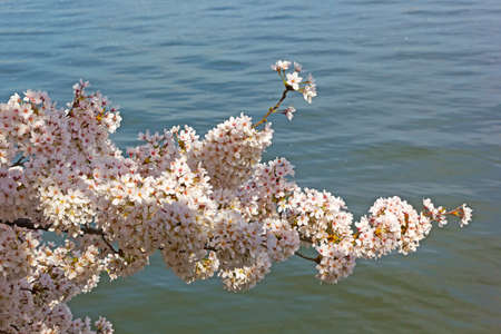 Cherry tree branch with waters of Tidal Basin at background. Abundance of flowers during a peak of cherry trees blossom in Washington DC, USA.