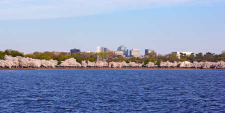 rosslyn: Cherry blossom around Tidal Basin with suburban buildings on the background in Washington DC, USA. Blossoming cherry trees around the water.