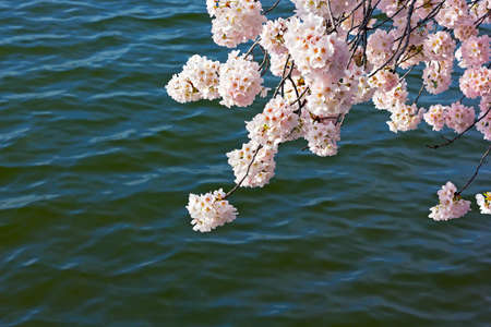 Cherry tree blooming branch against the waters of tidal Basin in Washington DC, USA. Morning sun on pink cherry flowers in spring. Stock Photo