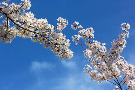 blossom time: Blooming cherry tree branches against a blue sky. Cherry blossom time in Washington DC, USA. Stock Photo
